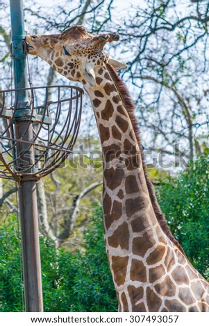 Giraffe eating in zoo portrait - stock photo