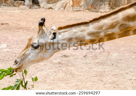 Giraffe eating leaves absolutely delicious. - stock photo