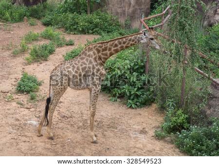 Giraffe eating tree leaves - stock photo
