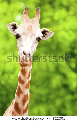 Giraffe eating twig, forest background - stock photo
