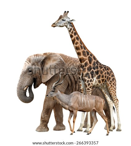 Giraffe, Elephant and Kudu isolated on white  - stock photo