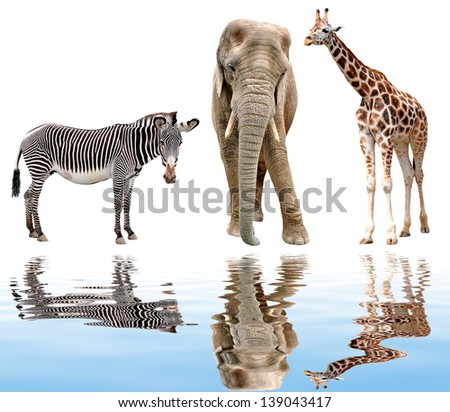 giraffe, elephant and zebra isolated on white - stock photo
