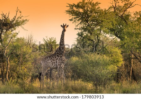 Giraffe feeding in the early morning - stock photo