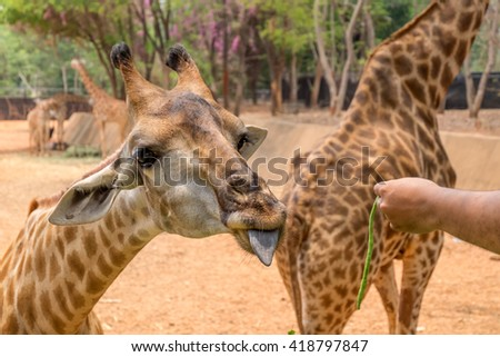 Giraffe gets food from people - stock photo