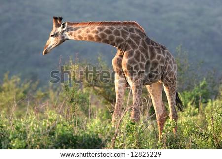 Giraffe (Giraffa camelopardalis) bending down the bush. Hluhluwe-Umfolozi National Park. Zululand. South Africa. - stock photo