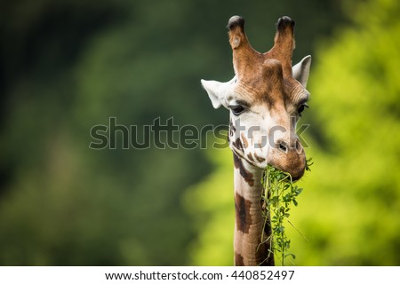 Giraffe (Giraffa camelopardalis) on green background - stock photo