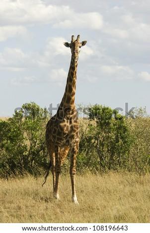 Giraffe (Giraffa camelopardalis) on the savannah, Masai Mara, Kenya - stock photo