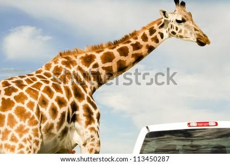 Giraffe (Giraffa camelopardalis) over blue sky with white clouds in wildlife sanctuary near Toronto, Canada and safari car - stock photo