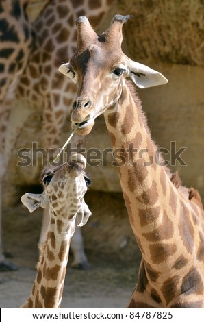 Giraffe (Giraffa camelopardalis) with a grass in mouth with its baby - stock photo