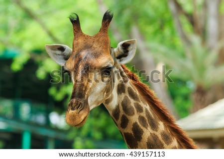 Giraffe,giraffe in zoo,animal. - stock photo