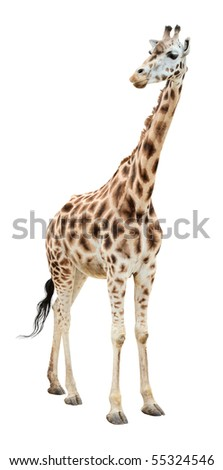 Giraffe half-turn looking isolated on white background - stock photo