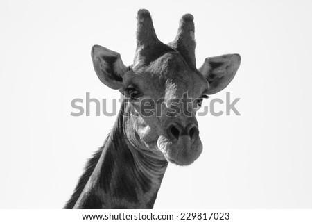Giraffe Head, close up - stock photo