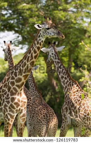 Giraffe herd in Africa, Zambia - stock photo