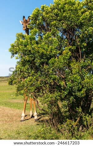 giraffe hides behind a bush - stock photo