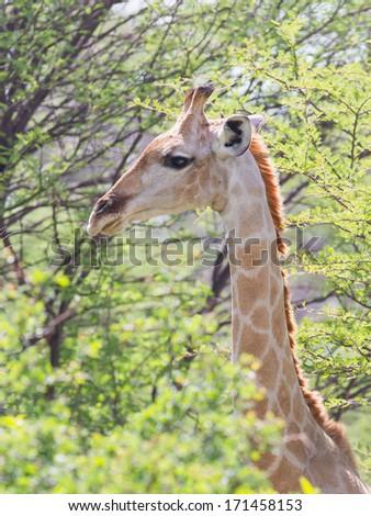 Giraffe in Etosha national park, Namibia, Africa - stock photo