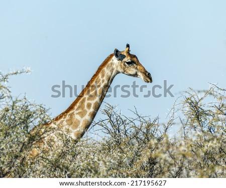 Giraffe in Etosha National Park - Namibia, South-West Africa - stock photo