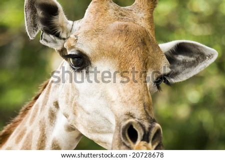 Giraffe in Khoakeaw Zoo Thailand - stock photo