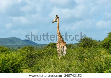 Giraffe in savanna, Kruger national park, South Africa  - stock photo