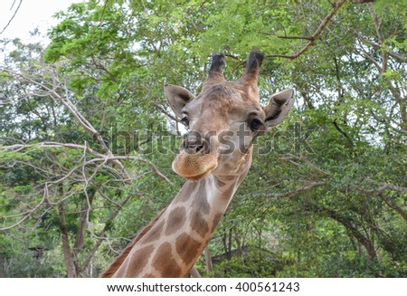 Giraffe in thailand  zoo - stock photo