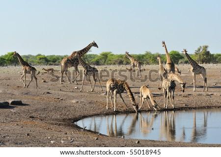 giraffe in the bush - stock photo