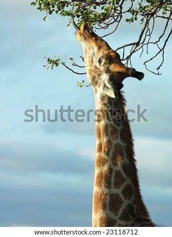 Giraffe in the bushveld of South Africa. - stock photo