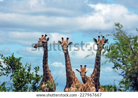 Giraffe in the Kruger National Park, South Africa - stock photo