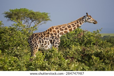 Giraffe in the Murchison Falls National Park in Uganda, Africa - stock photo