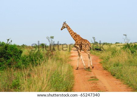 Giraffe in the Murchison falls park, Uganda - stock photo