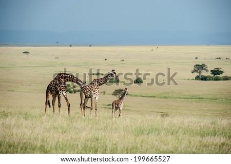 giraffe in the national park masai mara - stock photo