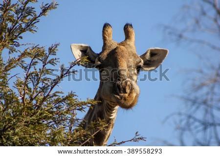 Giraffe in the Pilanesberg National Park - South Africa - stock photo