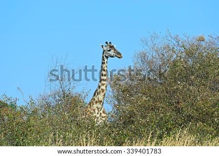 Giraffe in the savannah Masai Mara National Park - stock photo