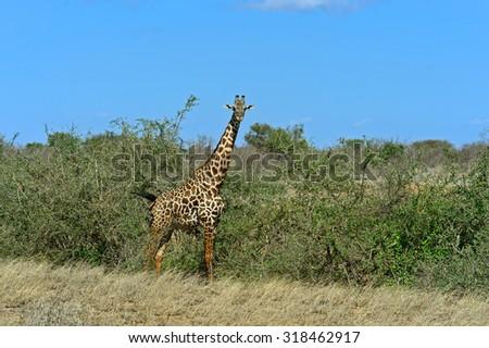 Giraffe in the savannah of Tsavo National Park in Kenya - stock photo