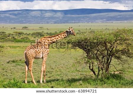 Giraffe in the Serengeti National Park, Tanzania - stock photo