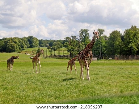 Giraffe in the UK zoo. Travel in the car. - stock photo