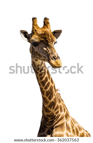 giraffe in the wild at sunny day - stock photo