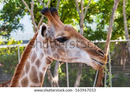 Giraffe in the zoo - stock photo