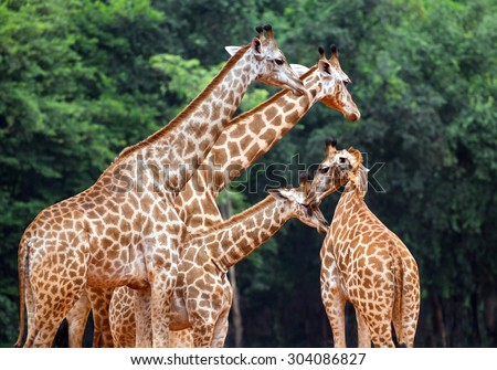 Giraffe in the zoo. - stock photo