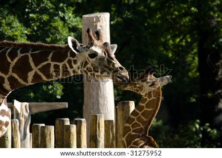 Giraffe in Zoo in Berlin - stock photo