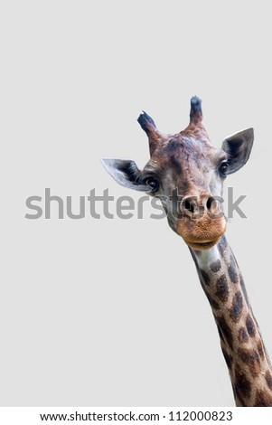 Giraffe isolated on white background. - stock photo