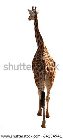 Giraffe isolated on white background - stock photo