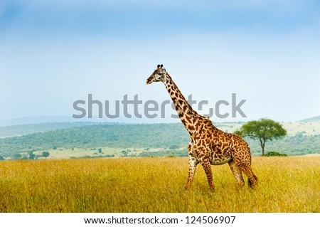 Giraffe, Kenya, Africa - stock photo