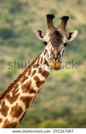 Giraffe Kenya Masai Mara Africa - stock photo