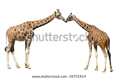 giraffe kissing other giraffe on isolated white background - stock photo