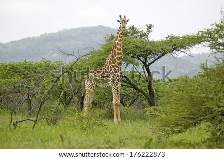 Giraffe looking into camera in Umfolozi Game Reserve, South Africa, established in 1897 - stock photo