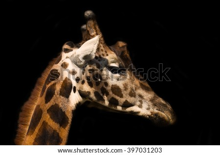 Giraffe male - stock photo