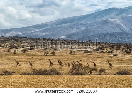 giraffe of all sizes in a row against rolling landscape of the Serengeti, Tanzania - stock photo
