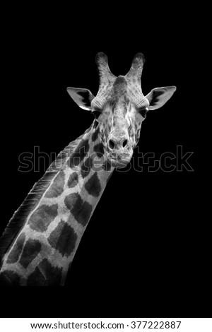 Giraffe on dark background. Black and white image - stock photo