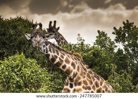 Giraffe on safari wild drive, Kenia. - stock photo