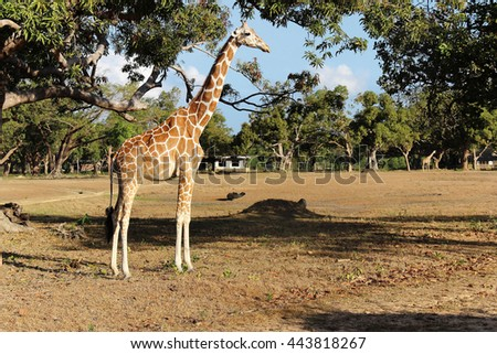 Giraffe on savanna. Calauit safari park. Busuanga, Palawan, Philippines. - stock photo