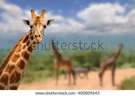 Giraffe on savannah in Africa, National park of Kenya - stock photo